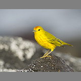YellowWarbler3686
